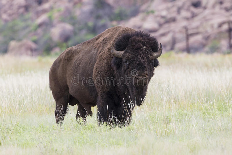 Buffalo de Taureau en montagnes de Wichita photographie stock libre de droits