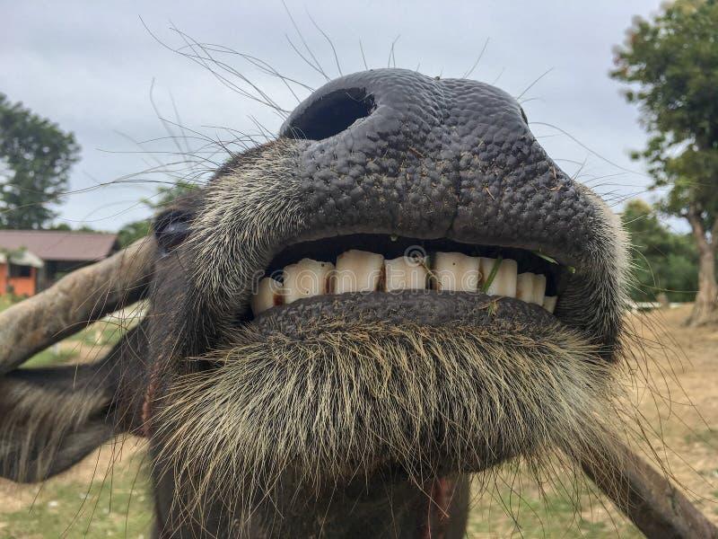 Buffalo di sorriso, fine su con lo stupore dei denti grandi nel giacimento rurale del riso fotografie stock