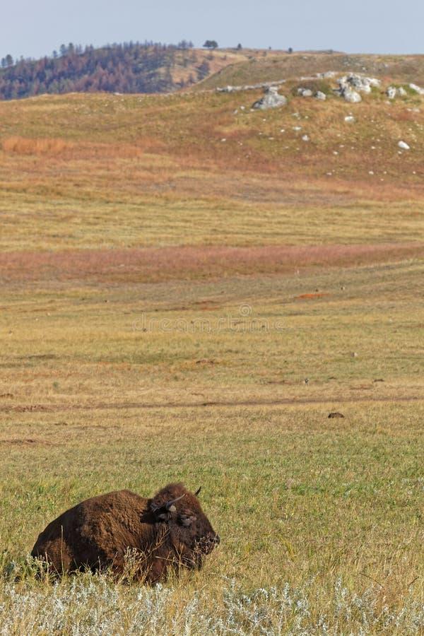 Buffalo dormant dans un paysage de Custer Park photographie stock libre de droits