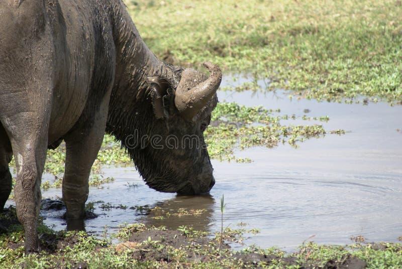 Download A Buffalo Drinking Stock Photo - Image: 10600000
