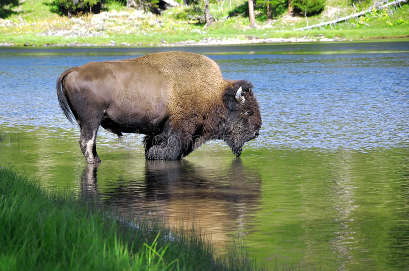 Download Buffalo drinking water stock image. Image of animal, area - 14236267
