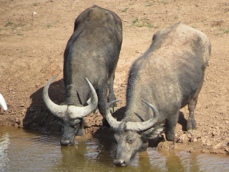 Buffalo drinking at water hole royalty free stock photography