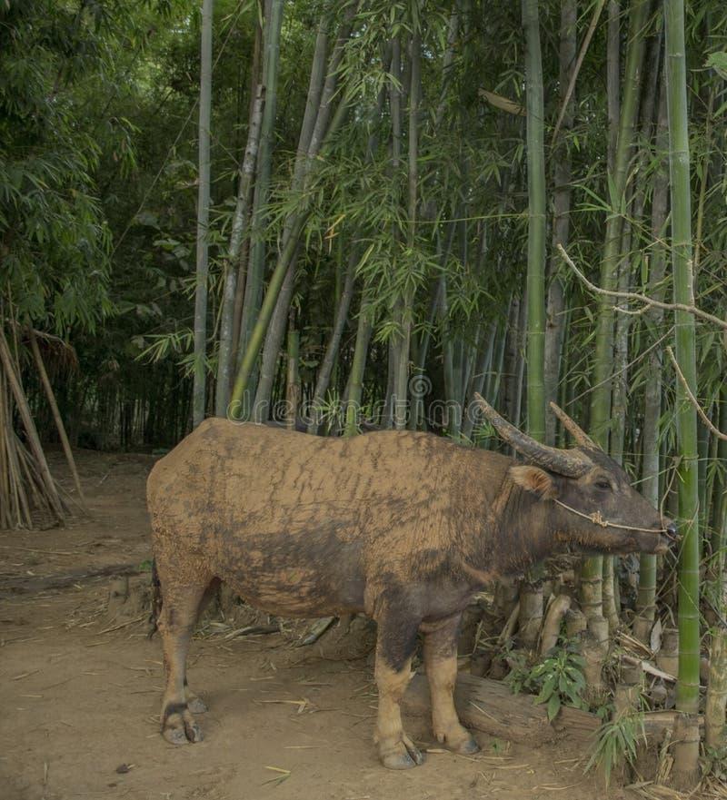 Buffalo is eating. Farm animals, Inle Lake, Myanmar (Burma royalty free stock photos