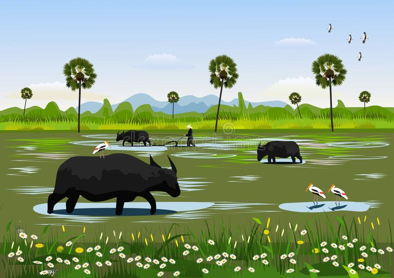 Buffalo eating grass in the field with birds searching for food beside,Farmers are using buffalo to cultivate the soil stock illustration