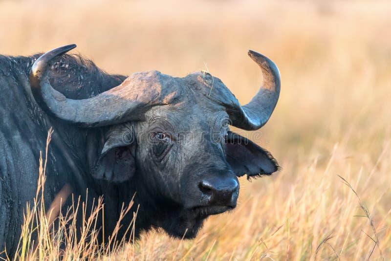 Buffalo en soleil d'or de début de la matinée photographie stock