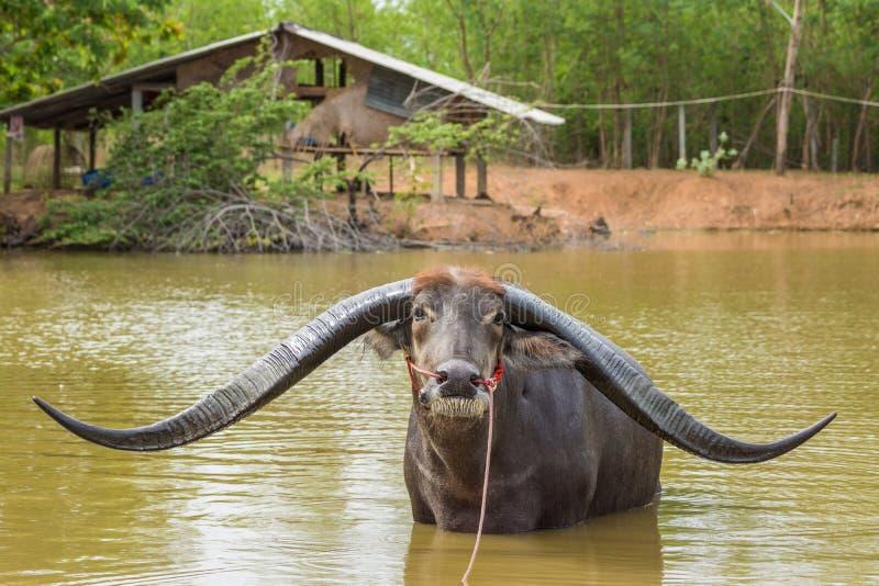 Buffalo with extra long horn in swamp. Buffalo with extra long horn in rural of Thailand stock images
