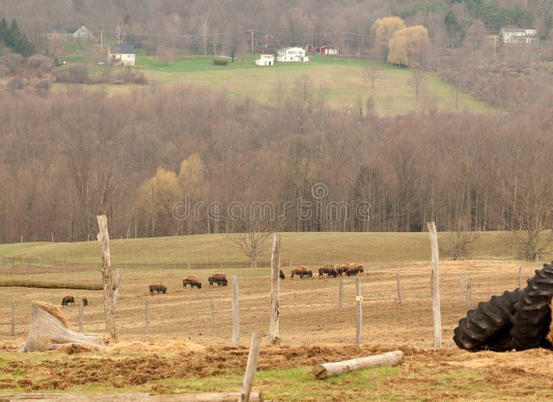 Download Buffalo farm stock image. Image of mammals, grazing, landscape - 40021833