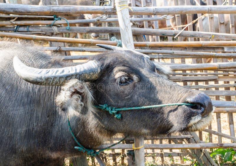 Buffalo in a farm in Thailand.  stock photo