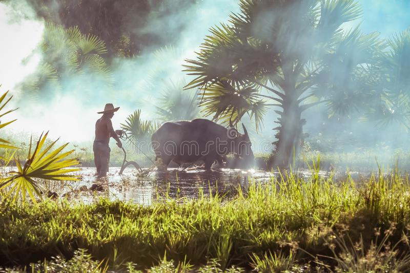 Buffalo with farmer man in paddy. Asian farmer using buffalo plowing rice field royalty free stock image