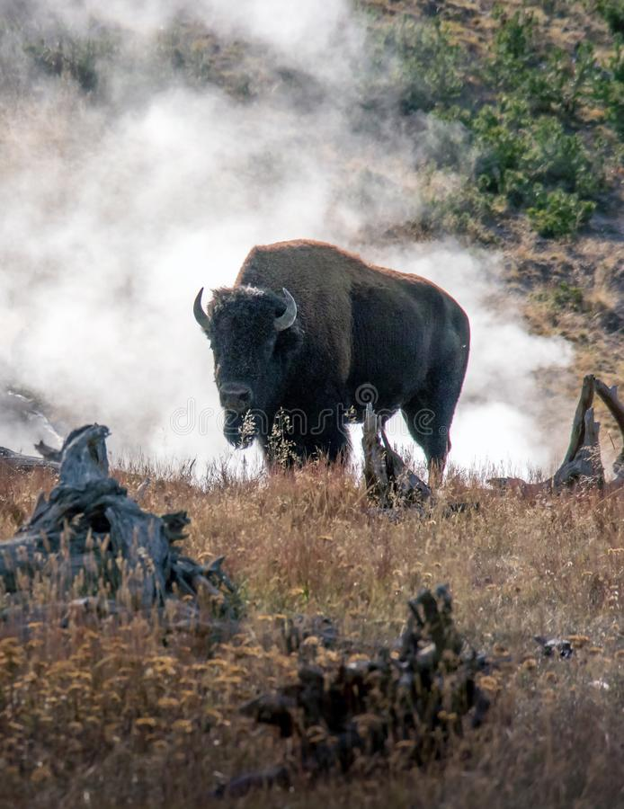Buffalo and geothermal vents in National Park royalty free stock photo