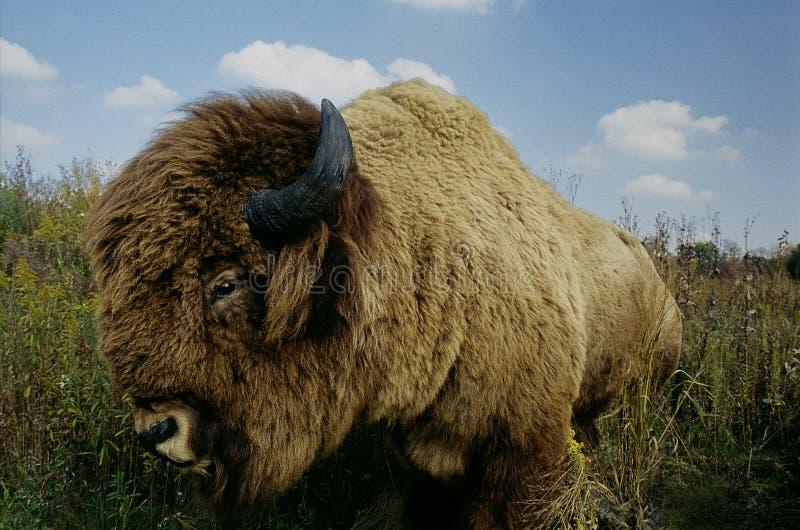 Buffalo In Grass. A stuffed buffalo posed in long grass royalty free stock photo