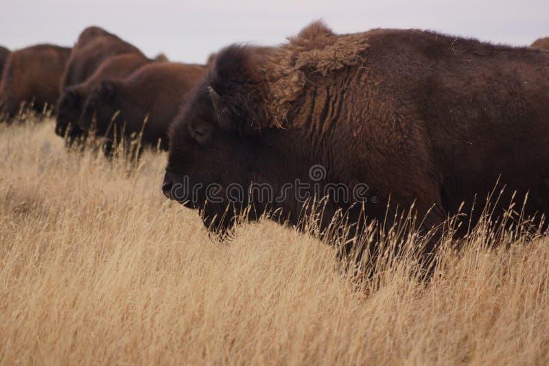 Buffalo Grazing stock photos