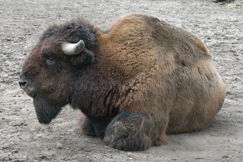 Download Buffalo on the ground stock image. Image of horned, cattle - 11481035
