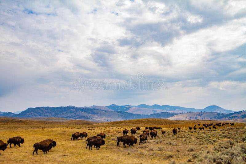 Buffalo Herd Migrating. A herd of buffalo travel along this lovely expanse of land in Yellowstone National Park, Wyoming stock photography