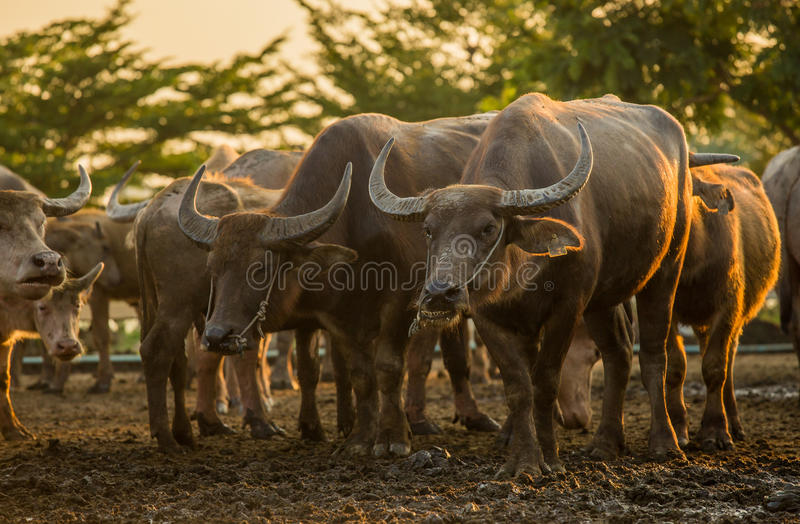 Buffalo herd stock photo