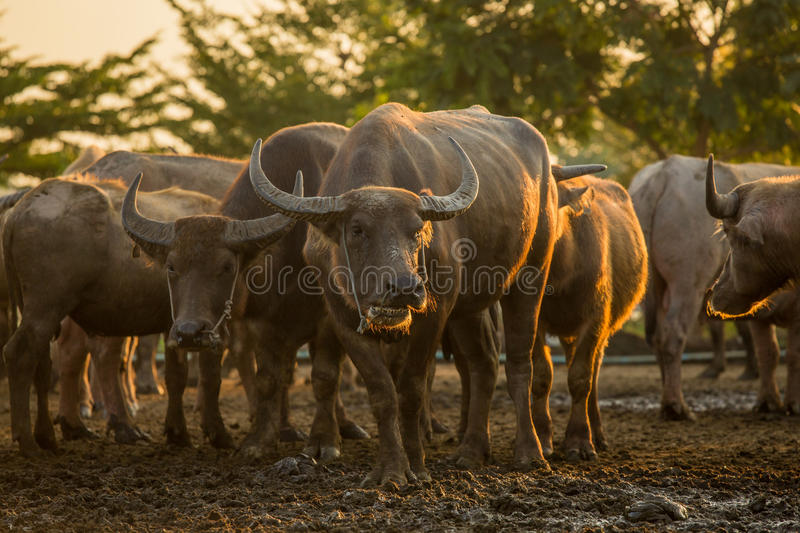 Buffalo herd stock photography