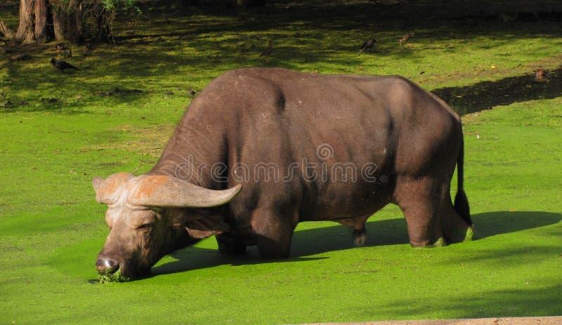 Buffalo indien photos libres de droits