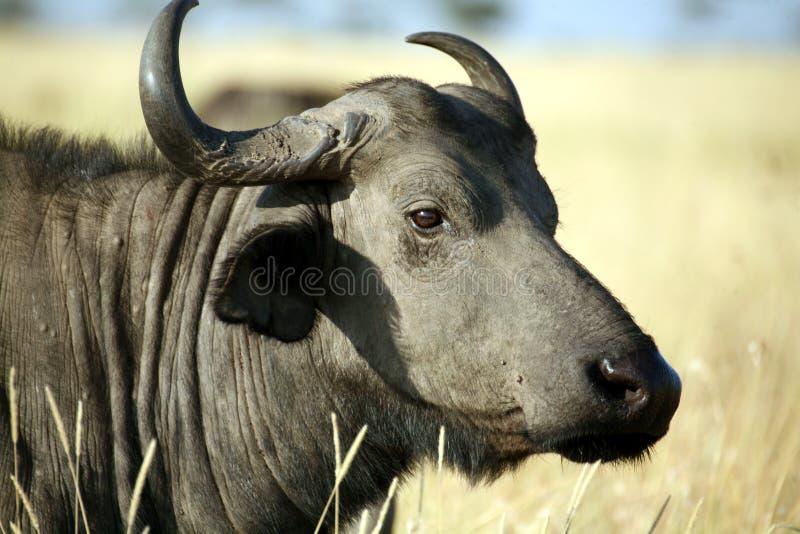 Download Buffalo (Kenya) stock photo. Image of bull, fauna, bushveld - 4792026