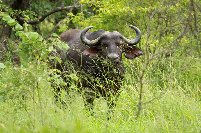Buffalo, Kruger National Park. South Africa royalty free stock photo