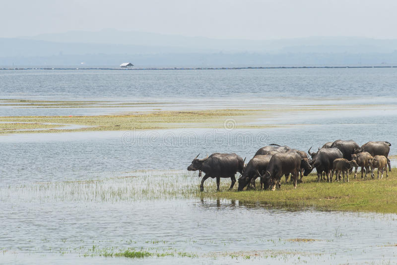 Buffalo in Lake, Thailand stock image