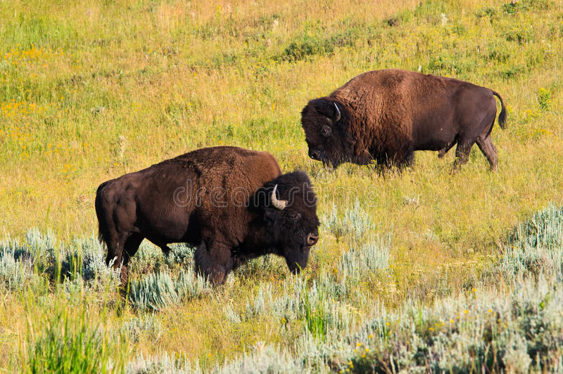 Download Buffalo In Lamar Valley, Yellowstone NP, Wyoming Stock Photo - Image: 20807688