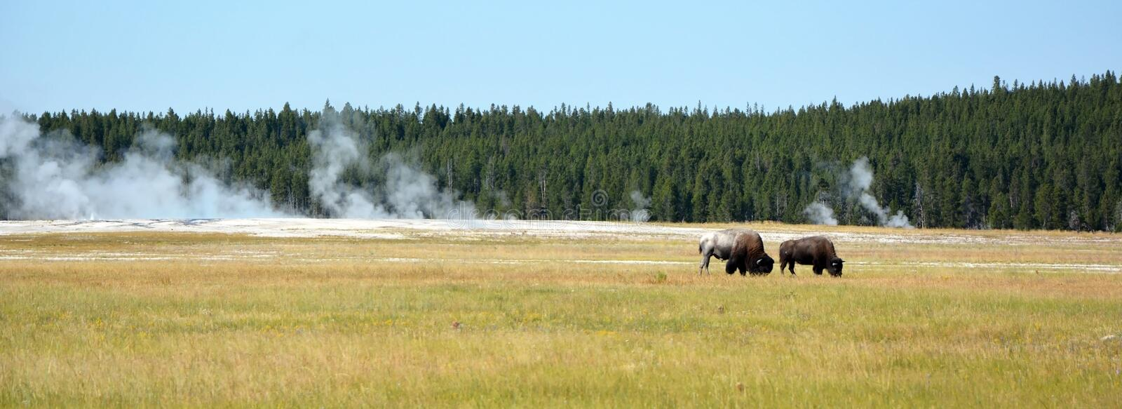 Buffalo on the meadow stock images