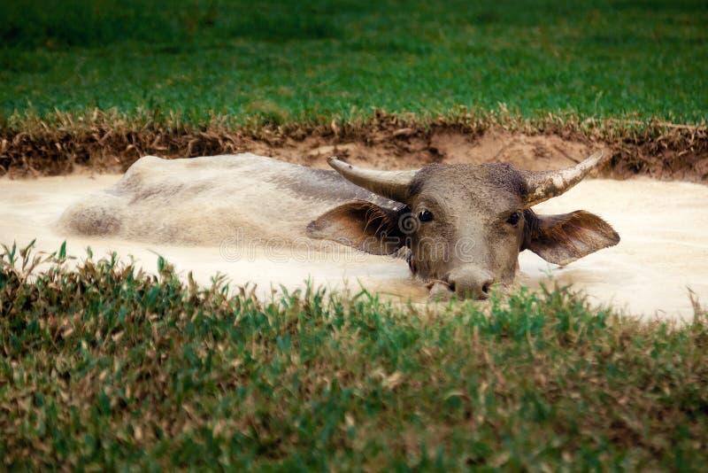 Buffalo in the mud stock image