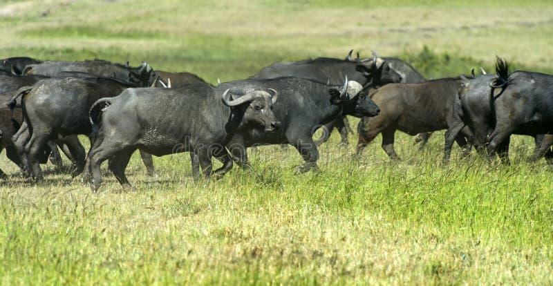 Download Buffalo stock image. Image of dangerous, kenya, fauna - 39513783
