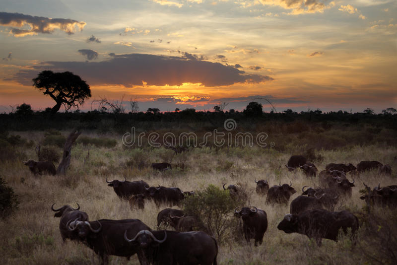 Buffalo nel Botswana immagine stock