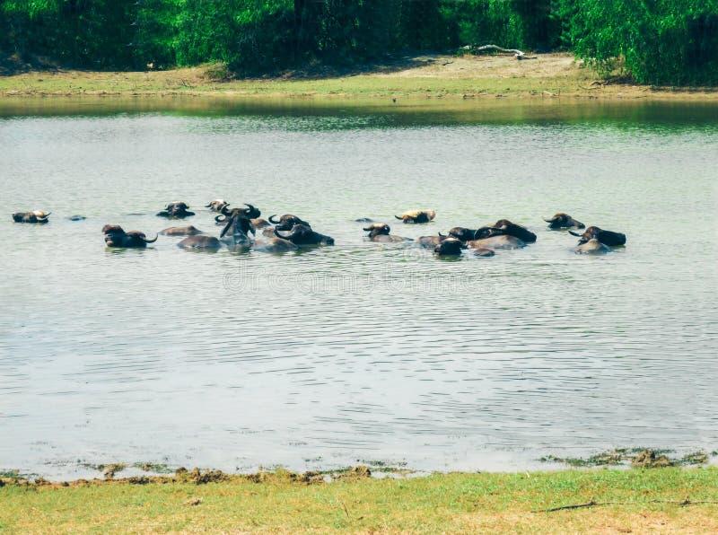 Buffalo nel lago, vista del parco nazionale di Yala, parco della vita selvaggio più famoso della Sri Lanka immagini stock