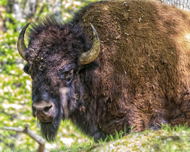 Buffalo in Indiana. A buffalo in a park in Indiana is dirty and scruffy, looking rather formidable royalty free stock photos