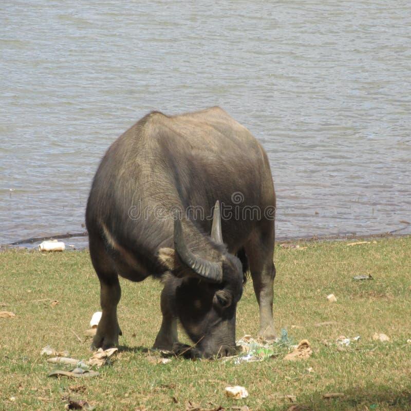 Buffalo & plastica immagine stock