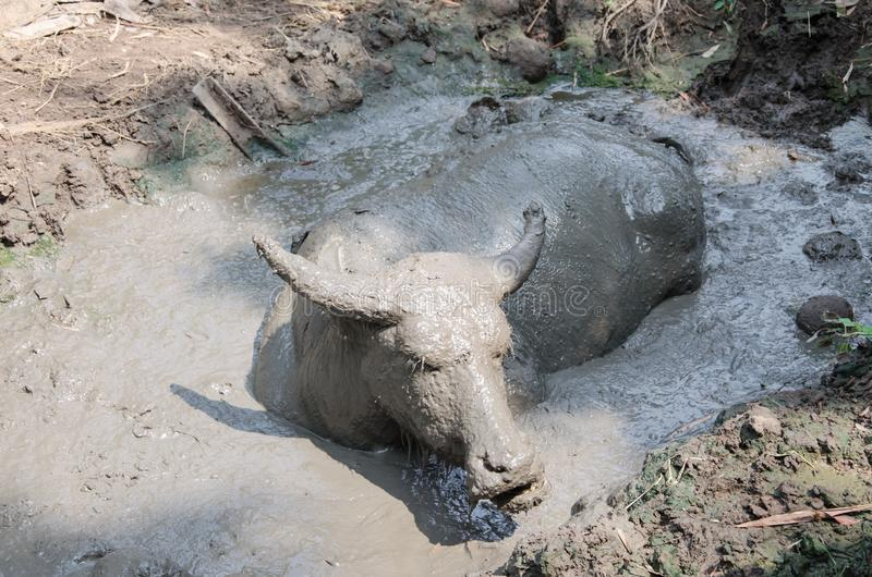 Buffalo played mud. In thailand stock photo
