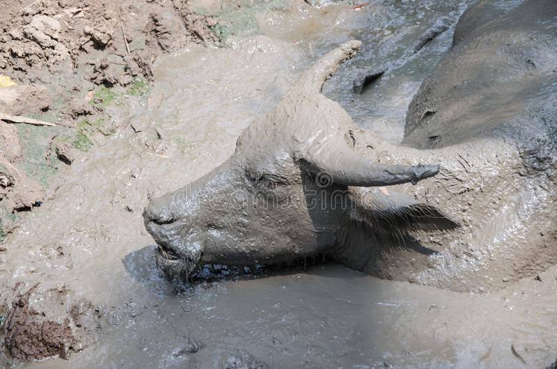 Buffalo played mud. In thailand royalty free stock image