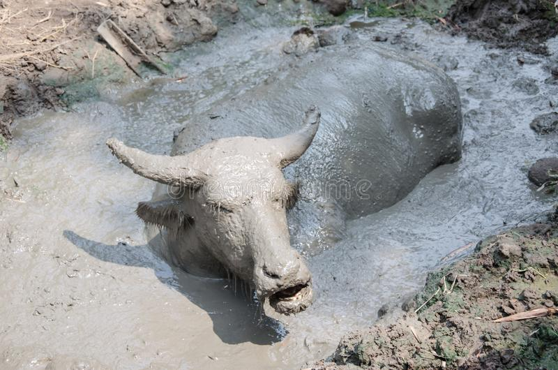 Buffalo played mud. In thailand stock images