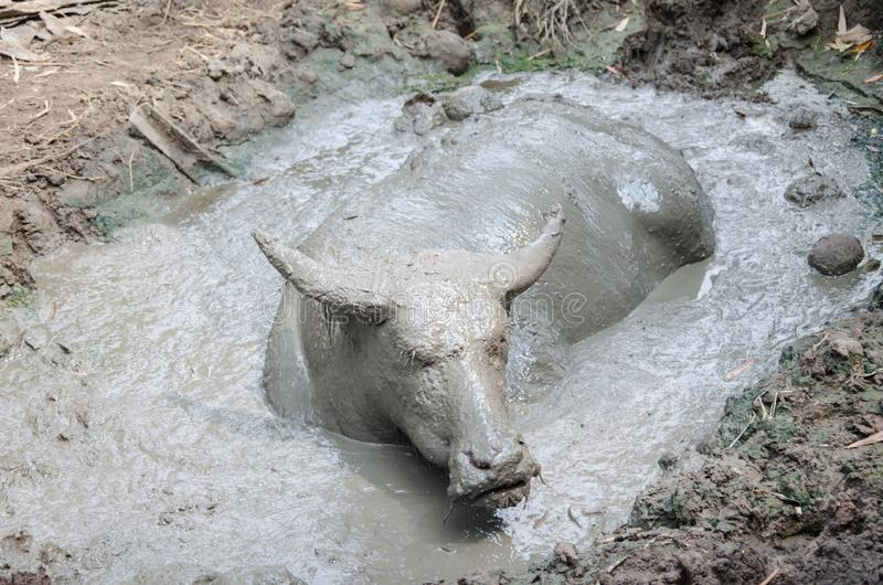 Buffalo played mud. In thailand royalty free stock images