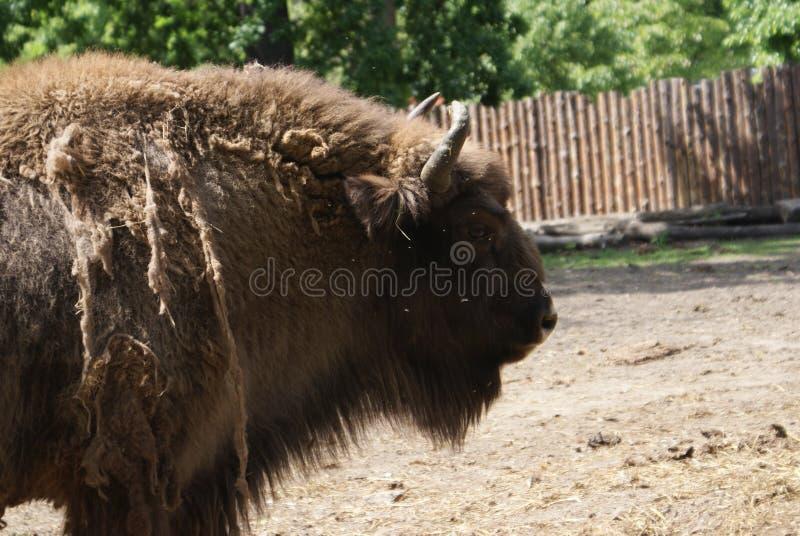 Buffalo polonais photographie stock libre de droits