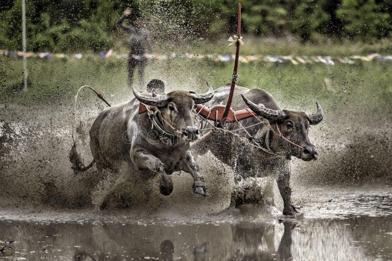 Buffalo Race Festival stock photography