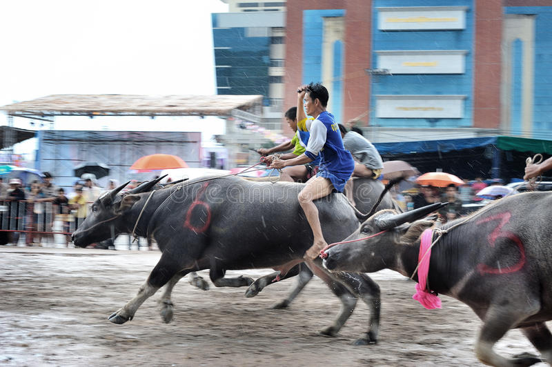 Download Buffalo Racing Festival editorial photo. Image of editorial - 34663556