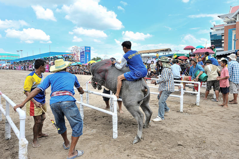 Download Buffalo Racing Festival editorial photo. Image of event - 34663706