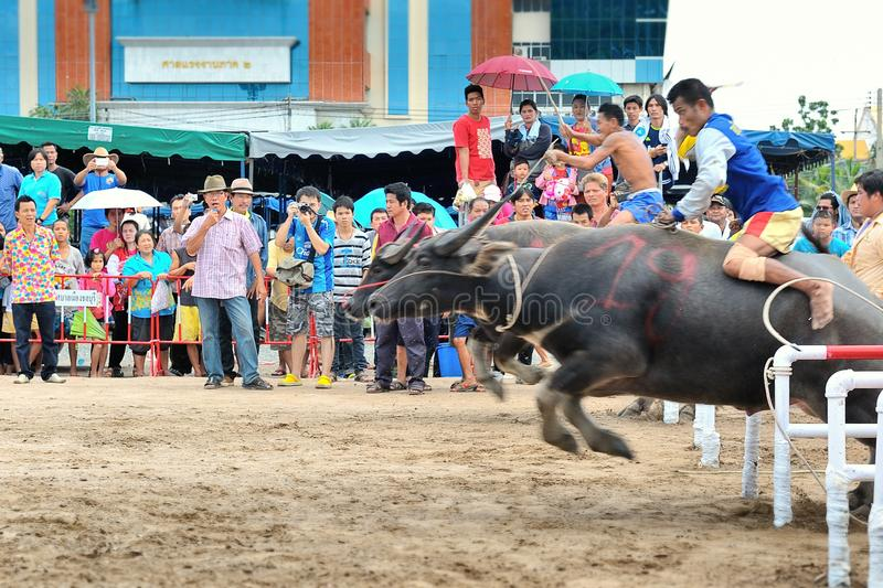 Download Buffalo Racing Festival editorial image. Image of running - 34663725