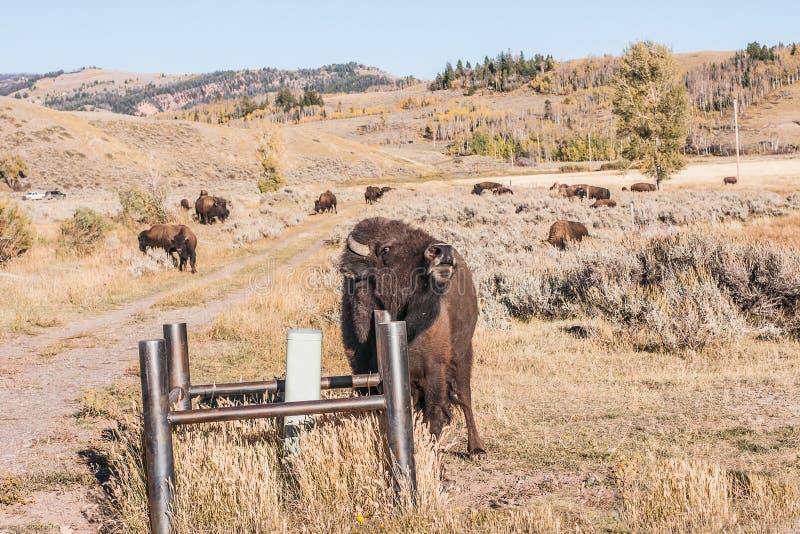Buffalo rayant un démangeaison photo stock