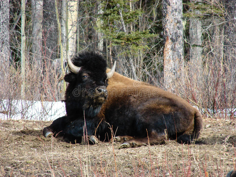 Buffalo at Rest. A buffalo finds time to rest after foraging along the Cassiar Highway, British Columbia royalty free stock photography
