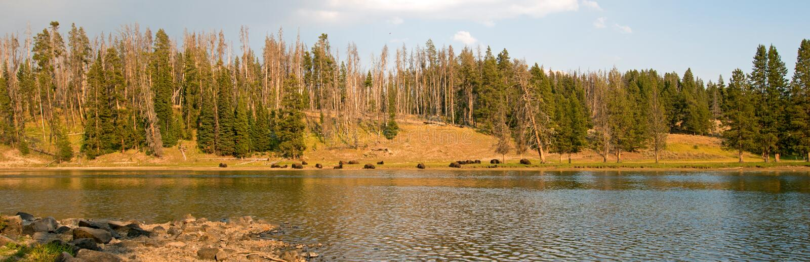 Buffalo resting on the far shore of the Yellowstone River near Lehardy Rapids in Yellowstone National Park - Wyoming United States. Buffalo resting on the far royalty free stock photos