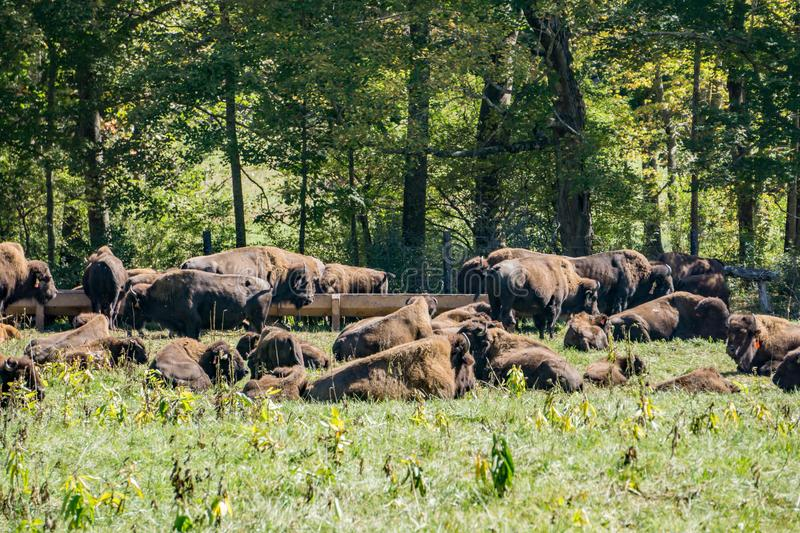 Buffalo Resting in a Field. Buffalos in a field of a buffalo farm located Craig County, Virginia, USA. The farm raised bison for human consumption royalty free stock images