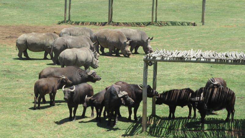 Buffalo and Rhino. Wildlife at reserve Alzu Lowveld SouthAfrica stock image