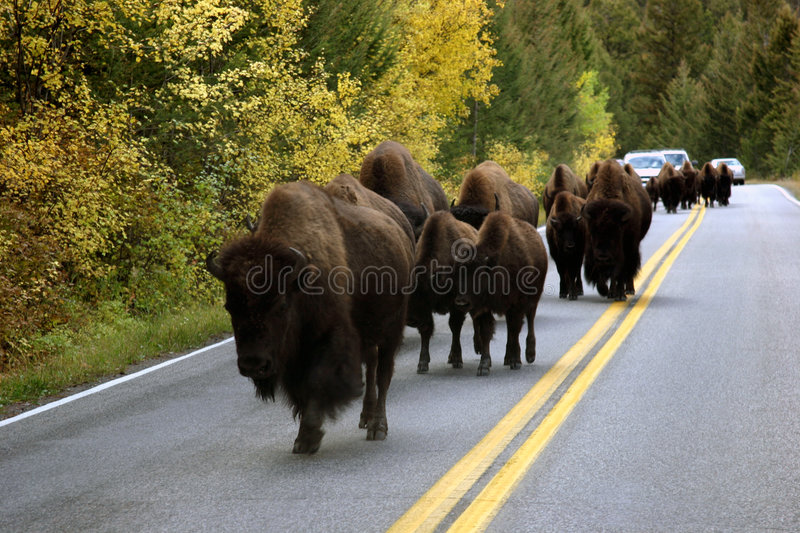 Download Buffalo On Road stock image. Image of yellow, bison, lumbering - 356221