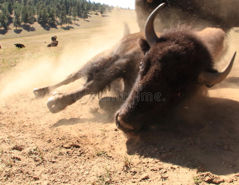 Bison aka Buffalo rolling on dirt, Colorado, USA royalty free stock image