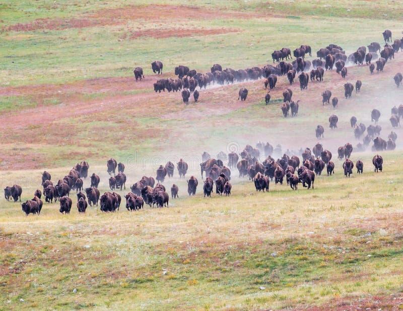 Buffalo Roundup. Bison Herd Roundup At Custer State Park, South Dakota royalty free stock images