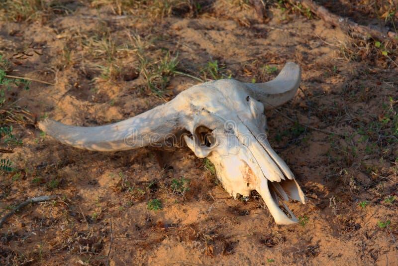 Buffalo scull στοκ εικόνα με δικαίωμα ελεύθερης χρήσης